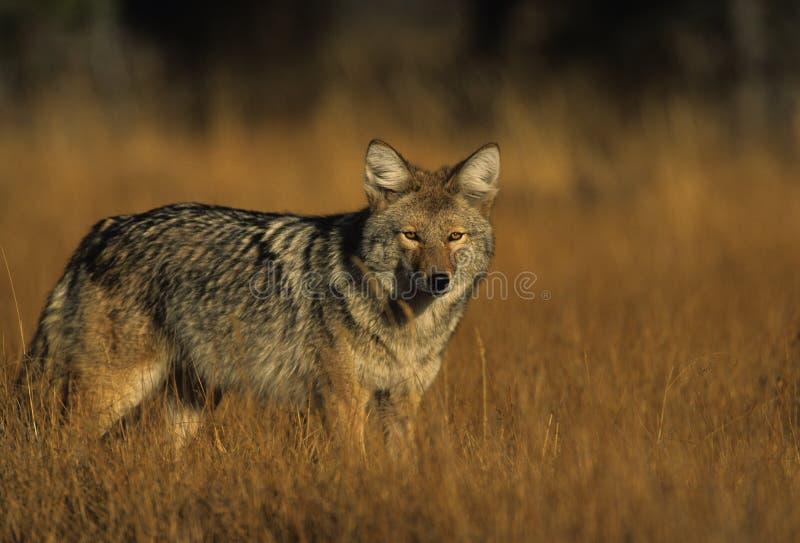 Coyote dans l'herbe image libre de droits