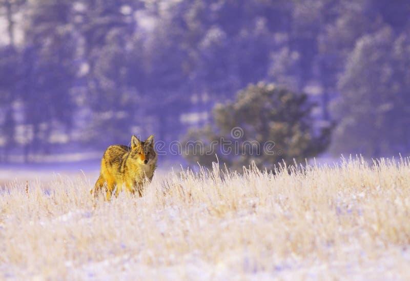 Coyote dans la neige images libres de droits