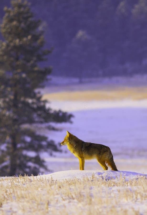 Coyote dans la neige image stock