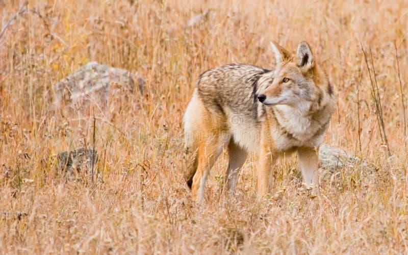 Coyote de Colorado imagenes de archivo