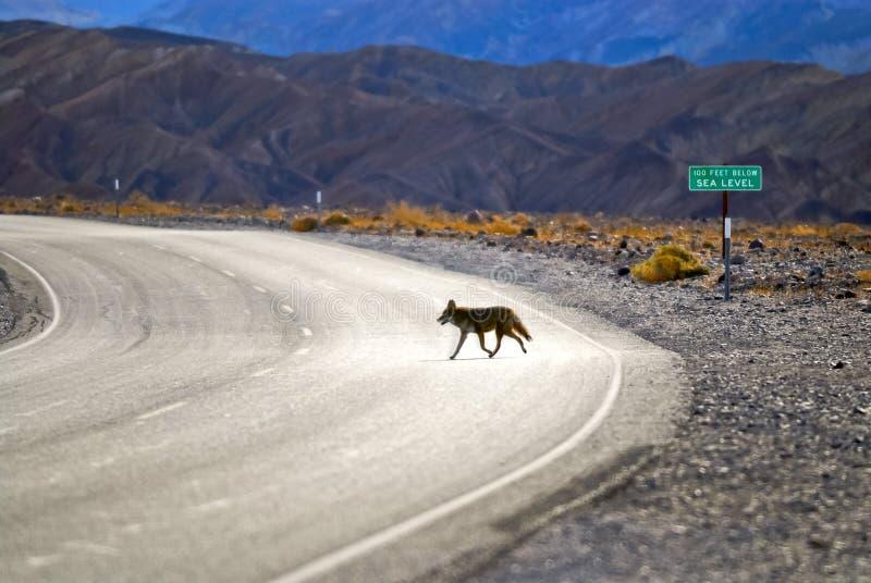 Coyote de Death Valley photos libres de droits