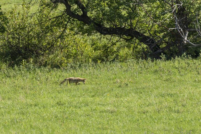 Coyote de Jacht royalty-vrije stock foto's