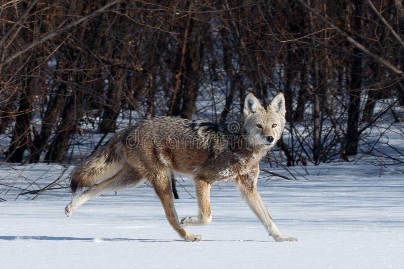 Coyote de jacht in de sneeuw royalty-vrije stock fotografie