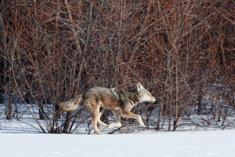 Coyote de jacht in de sneeuw royalty-vrije stock afbeelding