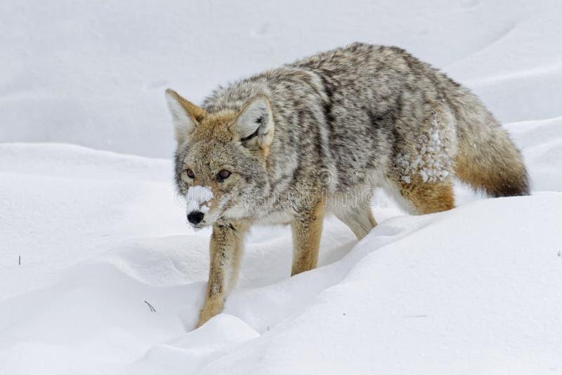 Coyote in de Sneeuw royalty-vrije stock afbeelding
