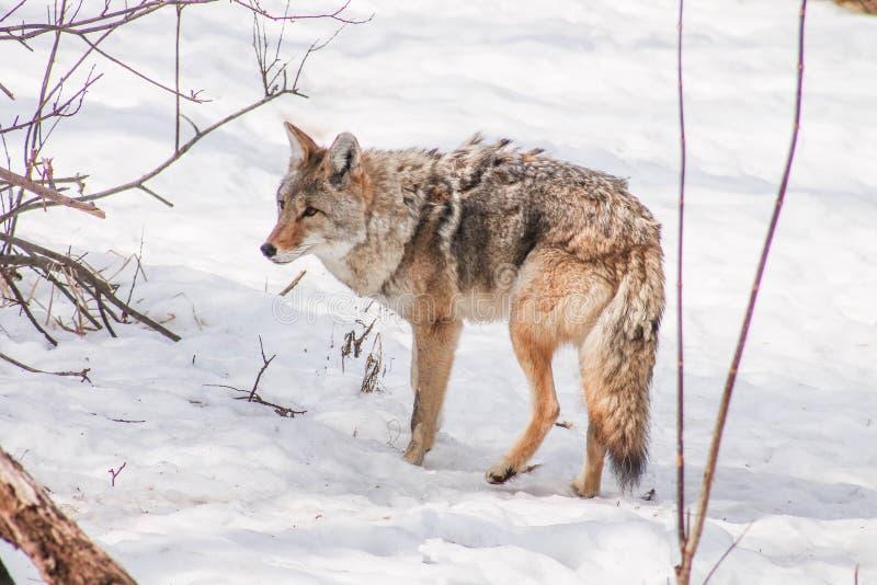 Coyote in de winter stock fotografie