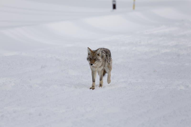 Coyote, de Winter, Yellowstone NP royalty-vrije stock fotografie
