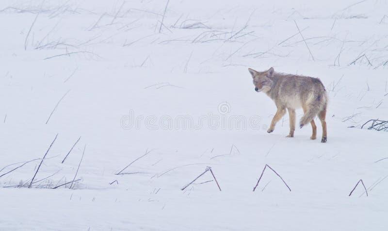 Coyote delle pianure ad ovest 1 fotografia stock libera da diritti