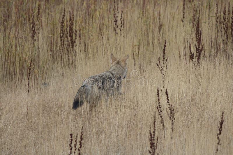 Coyote di Yellowstone fotografie stock
