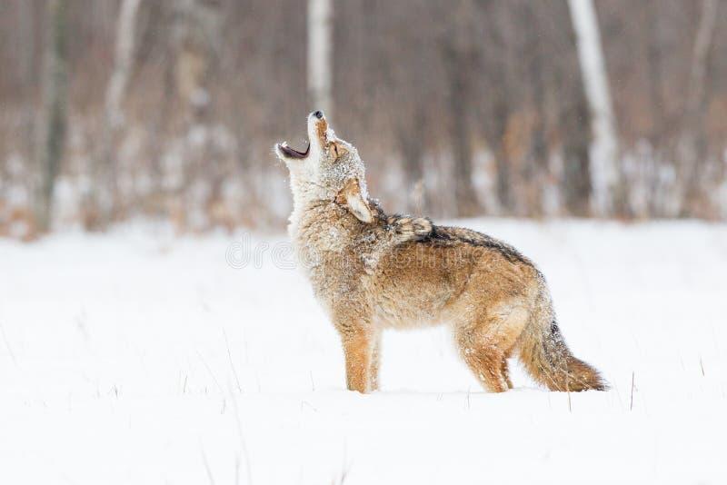 Coyote die bij een nieuwe dag huilen stock afbeelding
