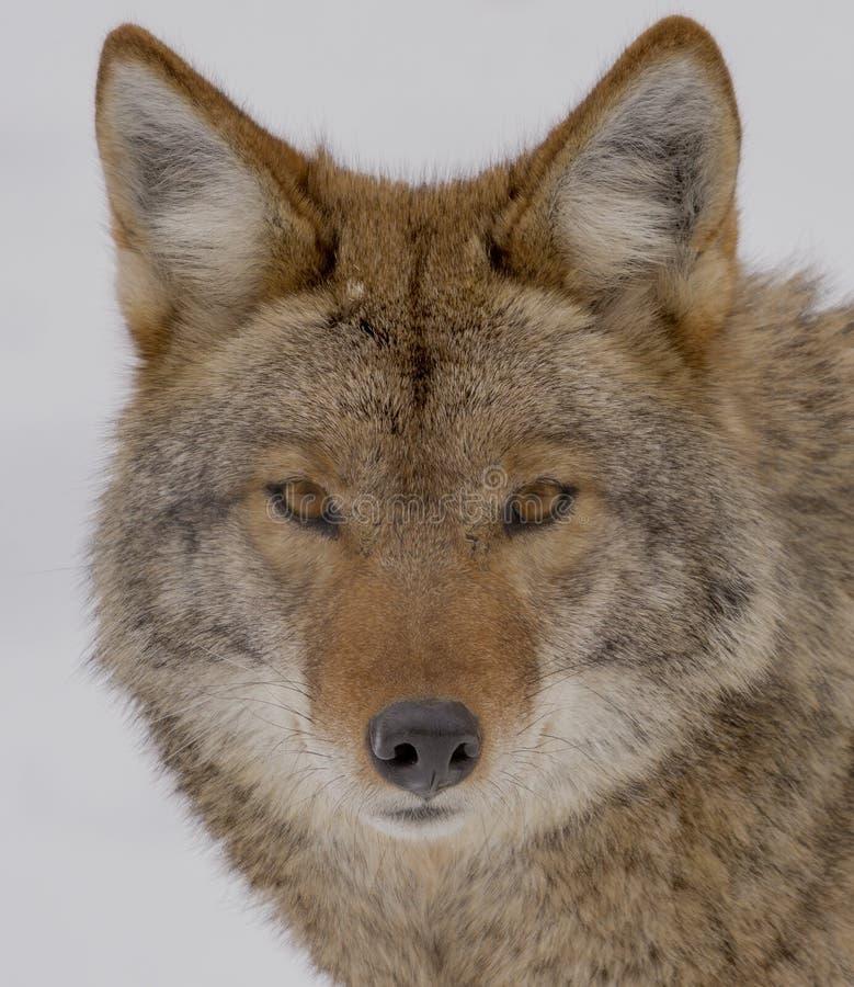 Coyote die de camera in de winter bekijken stock foto