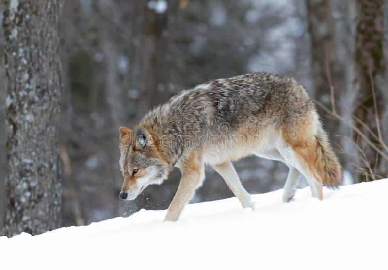 Coyote die in de wintersneeuw lopen stock foto