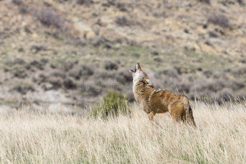 Coyote die op de prairie huilen stock fotografie