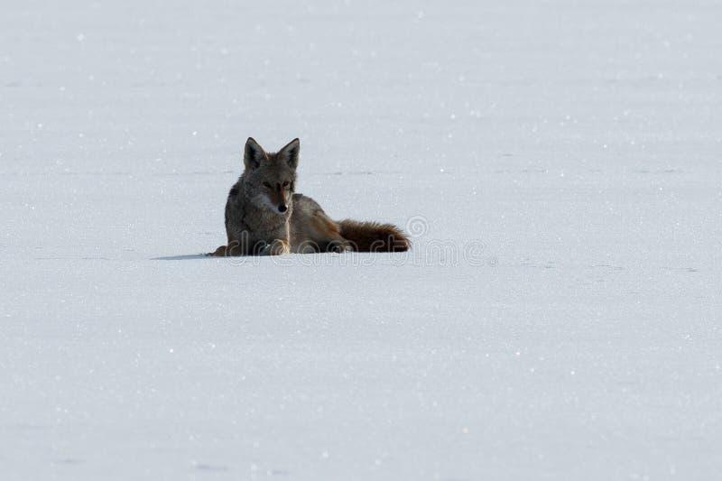 Coyote die op de sneeuw liggen royalty-vrije stock afbeeldingen