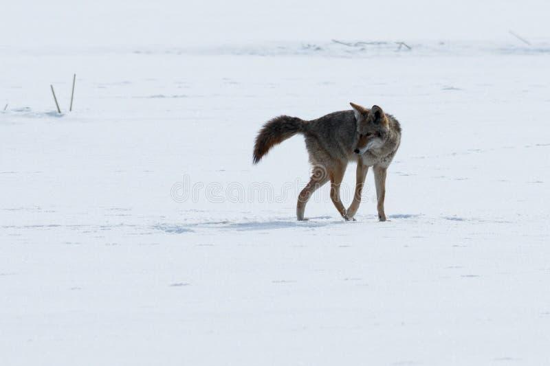 Coyote die op de sneeuw lopen stock foto's