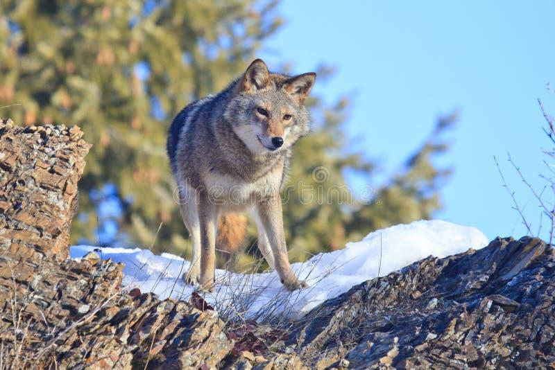 Coyote die veldmuis op rotsachtige richel zoeken stock foto