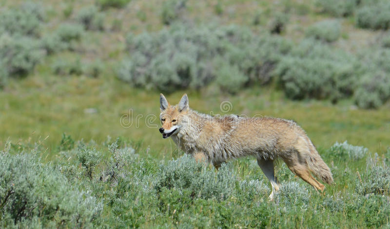 Coyote die voedsel in het Nationale Park van Yellowstone zoeken royalty-vrije stock foto