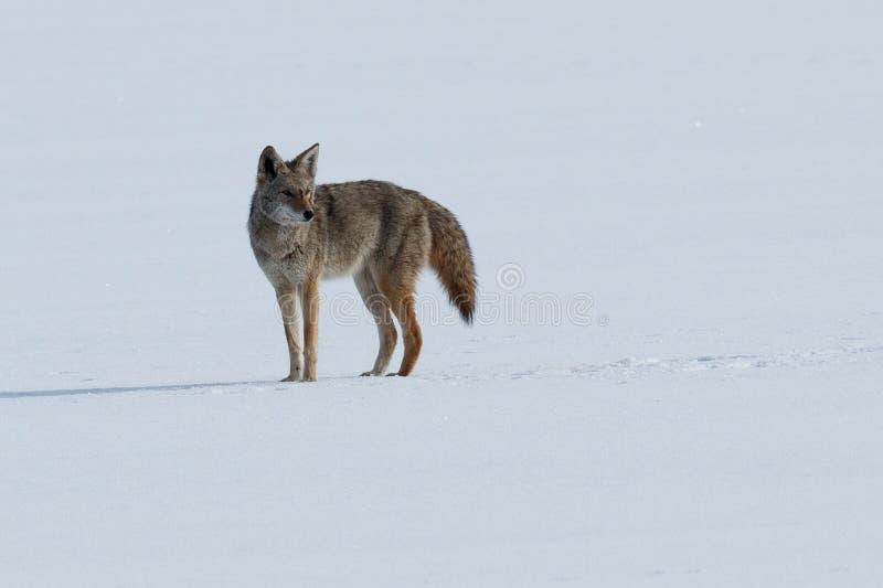 Coyote die zich op de sneeuw bevinden royalty-vrije stock foto's