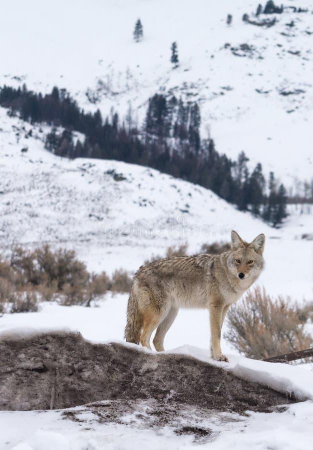 Coyote die zich op sneeuw driff dichtbij boender bevinden stock afbeelding