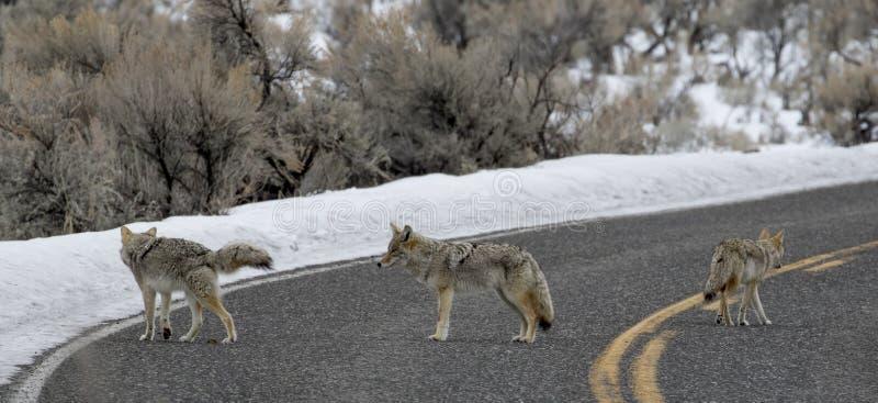Coyote drie in de weg stock foto's