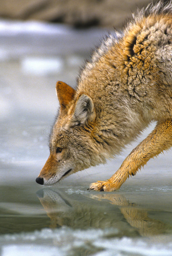 Download Coyote Drinking stock photo. Image of coyote, hunter - 16911002