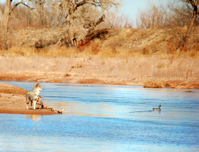 Coyote Duck Hunting Royalty Free Stock Images