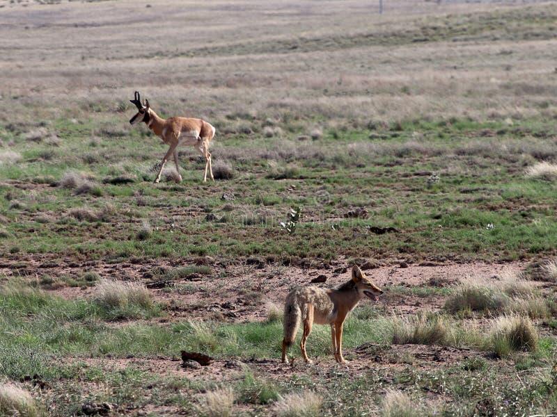 Coyote e dollaro di Pronghorn in Prescott Highlands immagine stock