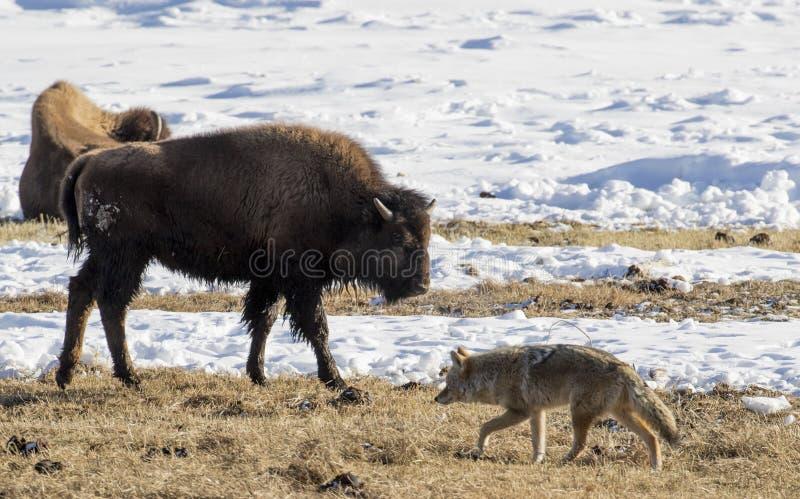 Coyote en bizonuitwisselingsblik in de winteryellowstone stock foto's