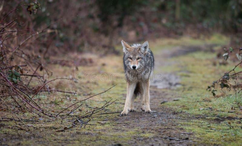 Coyote en Canadá imagenes de archivo