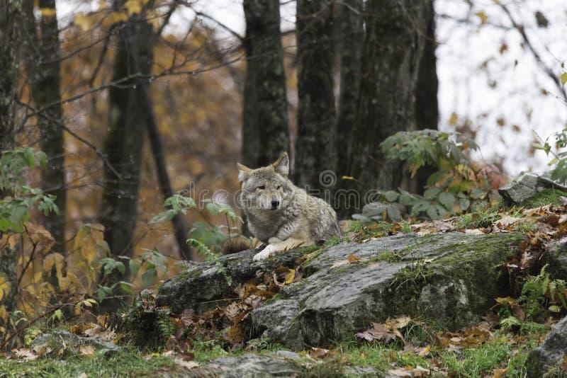 Coyote en la caída, ambiente del bosque foto de archivo libre de regalías
