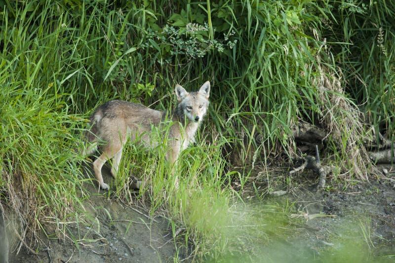 Coyote en una colina fotografía de archivo
