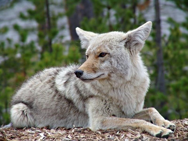 Coyote en yellowstone foto de archivo libre de regalías