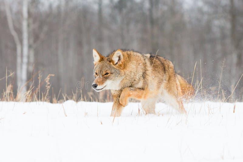 Coyote fonctionnant bas dans la neige profonde photographie stock libre de droits