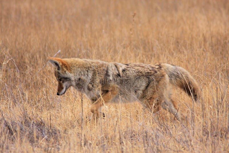 Coyote in Gras royalty-vrije stock afbeelding