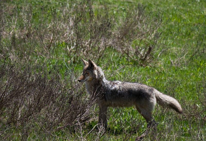 Coyote het Letten op voor Zijn Prooi stock afbeelding