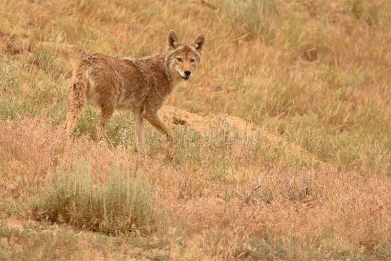 Coyote het Pauzeren royalty-vrije stock fotografie