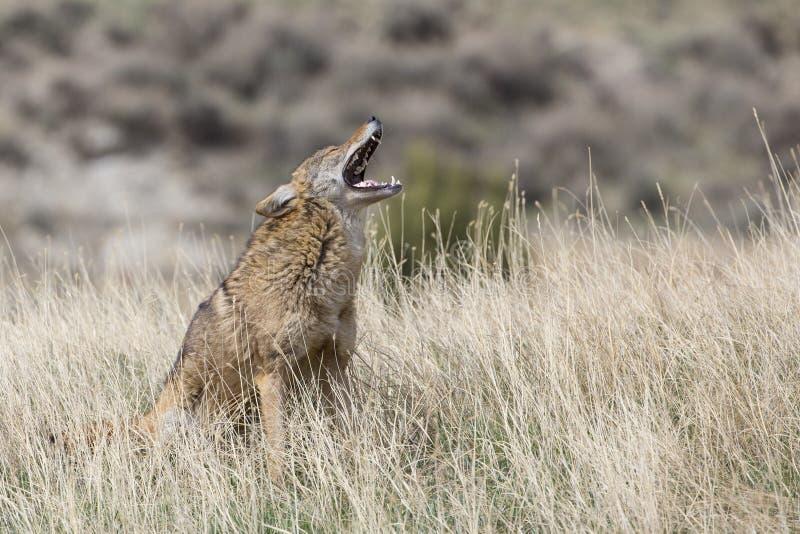 Coyote het vocalizing op prairie stock foto