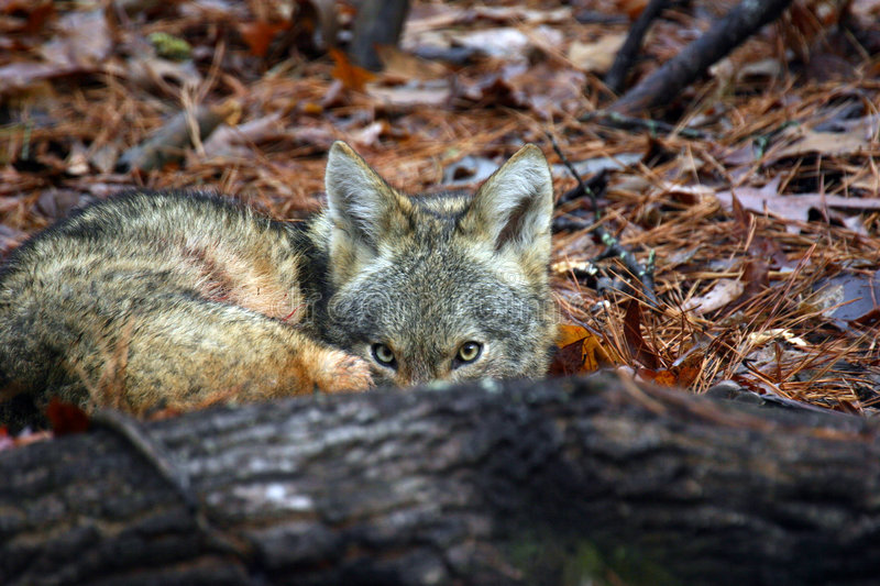 Coyote hiding royalty free stock photography