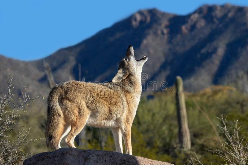 Coyote Howling royalty free stock images