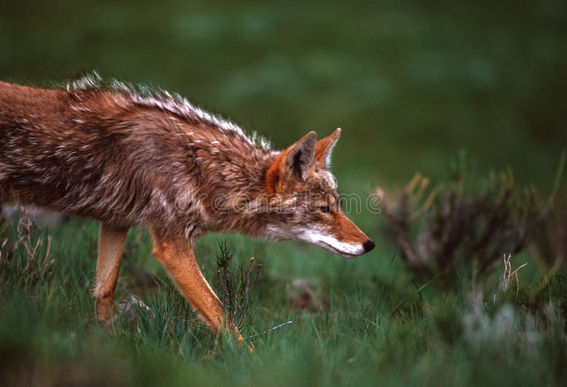 Download Coyote on the Hunt stock image. Image of prey, hunting - 9011315
