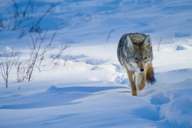 Coyote hunting along snowy trail. A coyote approaches the camera, hunting along a trail in the deep blue and white snow royalty free stock image