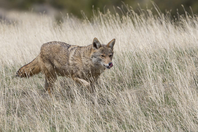 Coyote hunting for food in prairie royalty free stock images