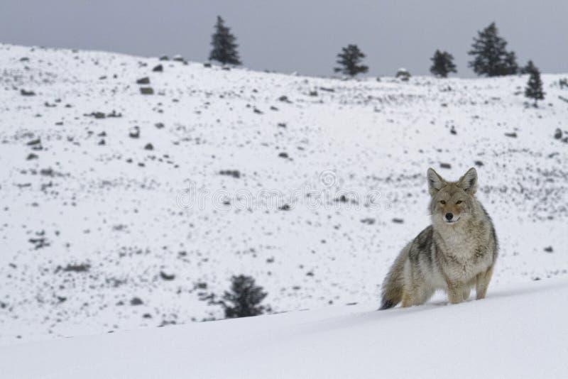 Coyote in landschap royalty-vrije stock foto's