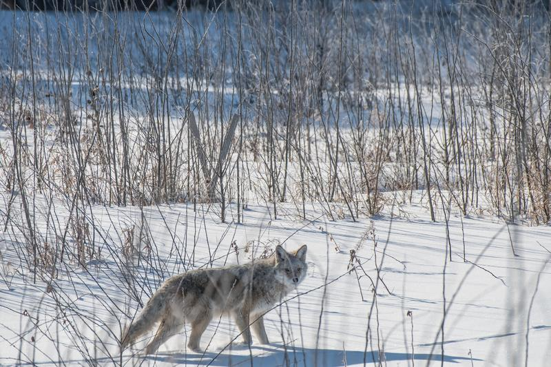 A Coyote looks to camera from the bush stock photos