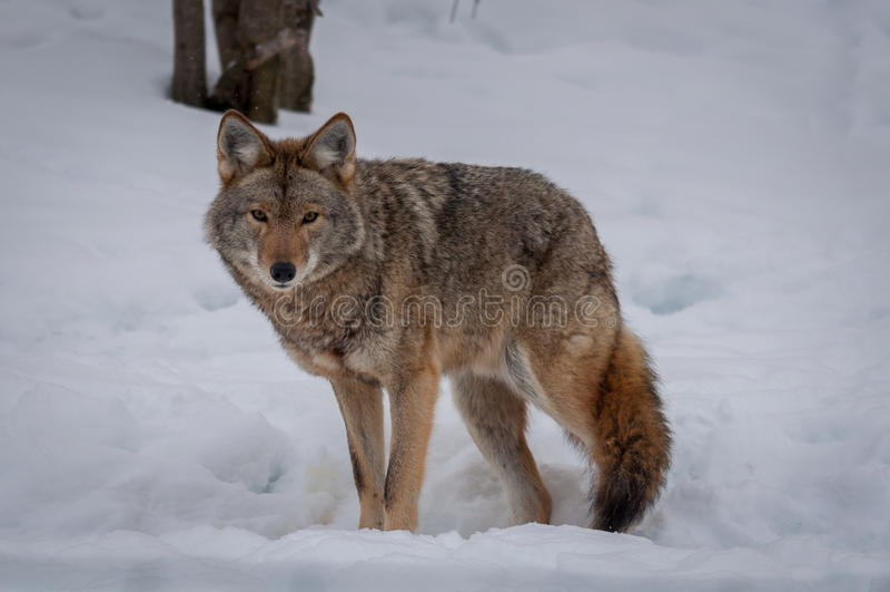 Coyote marchant dans la neige photo stock