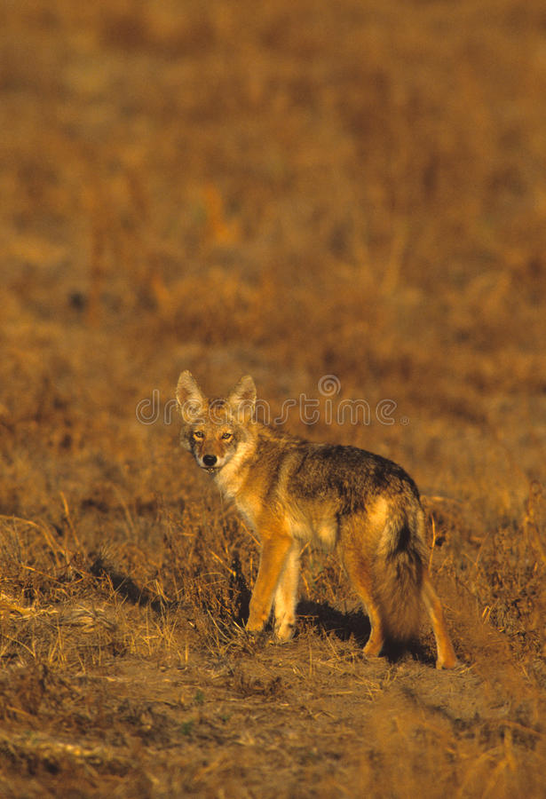 Download Coyote in Meadow stock photo. Image of wild, hunting - 10846294