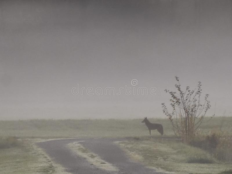 Coyote in the Mist royalty free stock image