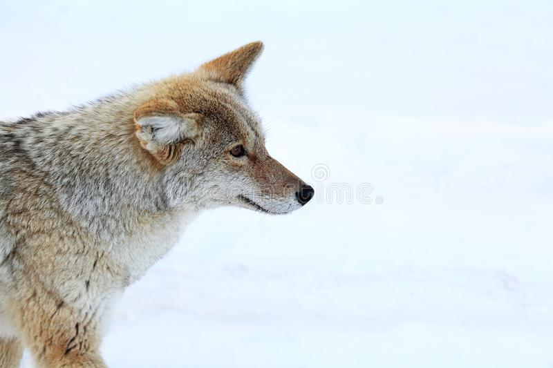 Coyote in Nationaal Park Yellowstone royalty-vrije stock foto