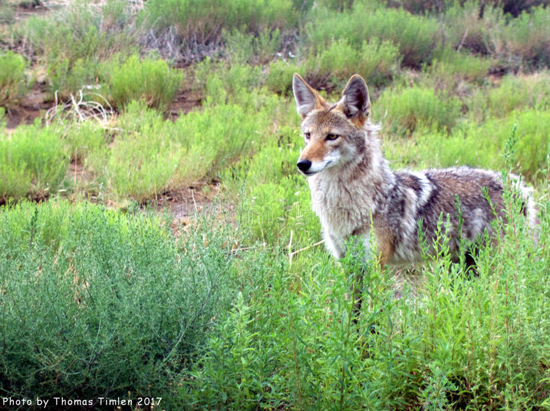 Coyote - New Mexico royalty free stock photo