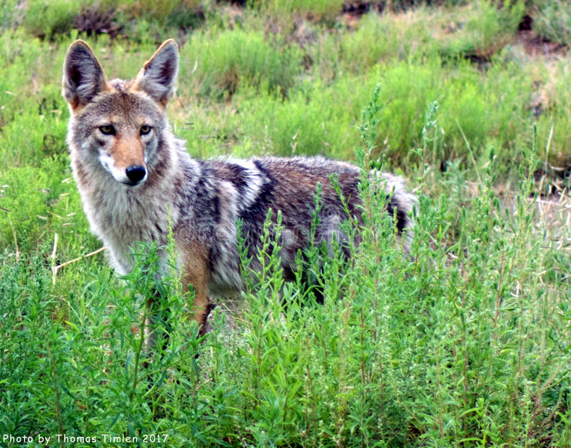 Coyote - New Mexico royalty free stock image